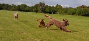 Home dog boarding Northampton